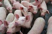Pigs Diseases. African Swine Fever In Europe. Dna Virus In The Asfarviridae Family. poster