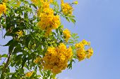 Yellow tabebuia flower