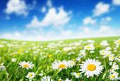 stock photo of buttercup  - field of daisy flowers - JPG
