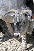 image of zebu  - This is a Miniature Zebu at a zoo - JPG