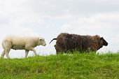 Sheep in brown and white on the grass dike in Holland