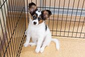 picture of epagneul  - Puppy papillon in a cage for small dogs - JPG