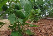Peppers In Family Garden Plot