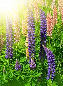 Lupines, spring flowers in the mountains