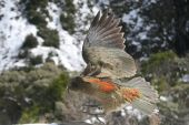 Kea Bird Flying In The Air