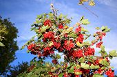 Redcurrant Against A Blue Sky