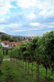 Vineyard In Schwarzwald, Germany