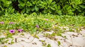 picture of sand lilies  - Violet Lilies blooming by the ocean - JPG