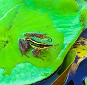 The Single Frog On Lotus Leaf.