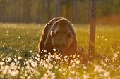 Brown Bear In Contra Light