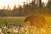 Old Brown Bear (ursus Arctos) Walking In Sunset
