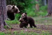 foto of bear cub  - Bear cubs playing in front of mother bear