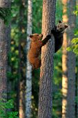 stock photo of bear cub  - Brown Bear Cubs on a tree in forest
