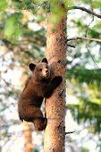 Brown Bear Cub Hugging Tree