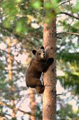 Brown Bear Cub Climb Up A Tree