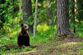Brown Bear Cub In The Forest