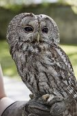 stock photo of falcons  - Picture of a tawny owl perched on falconer - JPG