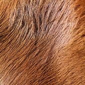 Detail Of Horse Fur