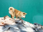 image of akita-inu  - Puppy of japanese dog Akita inu playing in the snow - JPG