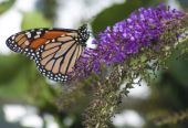 Monarch Danaus Plexippus Butterfly