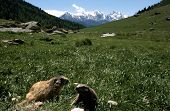 image of marmot  - Two marmot playing in the alps and landscape of pasture and snowed mountains - JPG