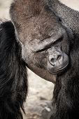 stock photo of face-fungus  - Portrait of a gorilla male in Berlin zoo