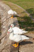 White Duck In The Garden