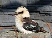 image of kookaburra  - A portrait of a Kookaburra with a rocky background - JPG