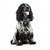 Cocker Spaniel puppy dog isolated on a white background