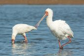 African Spoonbill Wading With Feathers Fluffed