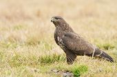 picture of buzzard  - Common buzzard wild birds nature photo (buteo buteo specie)