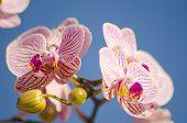 image of orquidea  - A close up of a branch with blossomed pink striped petals of the beautiful flower orchid Phalaenopsis - JPG