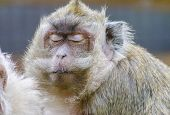 stock photo of macaque  - A close portrait view of a yellowish golden brown to gray crab eating macaque with a mustach and whiskers having its eyes closed - JPG