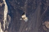 Flying Condor Over Colca Canyon, peru,south America