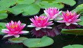 stock photo of ponds  - the beautiful lotus flower in the pond - JPG