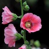 image of hollyhock  - the beautiful hollyhock flower or althaea flower