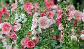 Beautiful Hollyhock Flower Or Althaea