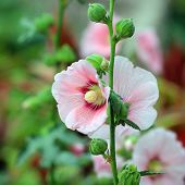 image of hollyhock  - the beautiful hollyhock flower or althaea flower - JPG
