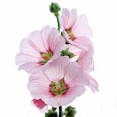 stock photo of hollyhock  - the hollyhock flower isolated on white background - JPG