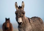 image of donkey  - gray fluffy donkey in a field in rural Ireland - JPG
