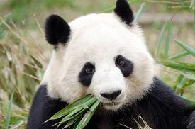 picture of panda  - giant panda bear eating bamboo at Chengdu - JPG