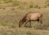 Healthy Mature Cow Elk Grazing In Open Field During Late Summer Season