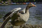 Greylag goose spreading wings