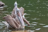 Spot-billed Pelican In The Lake