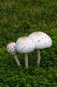 picture of toadstools  - A large mushroom grown on top of grass after a rain - JPG
