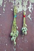 image of opiate  - two bunch poppy head with seeds on old wooden farm wall - JPG