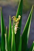 Green Mantis On The Plant