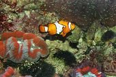 image of clown fish  - Clown fish - JPG