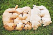 Adorable Group of Golden Retriever Puppies Sleeping in the Yard