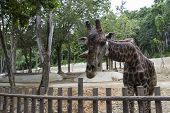 Giraffe Is Bending Down